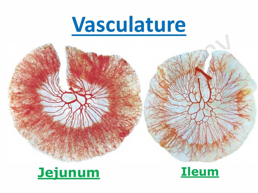 Vasculature Jejunum Ileum