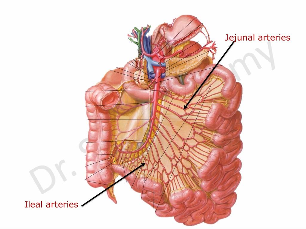 Jejunal arteries Ileal arteries