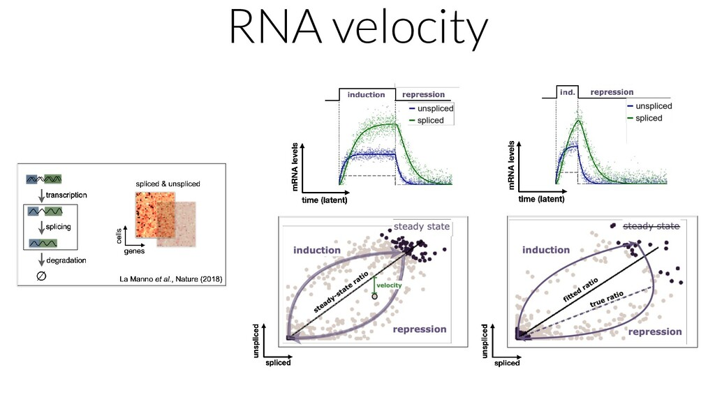 RNA velocity