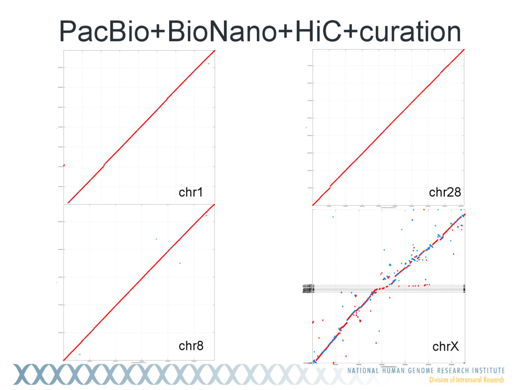chr1 chr8 chrX chr28 PacBio+BioNano+HiC+curation