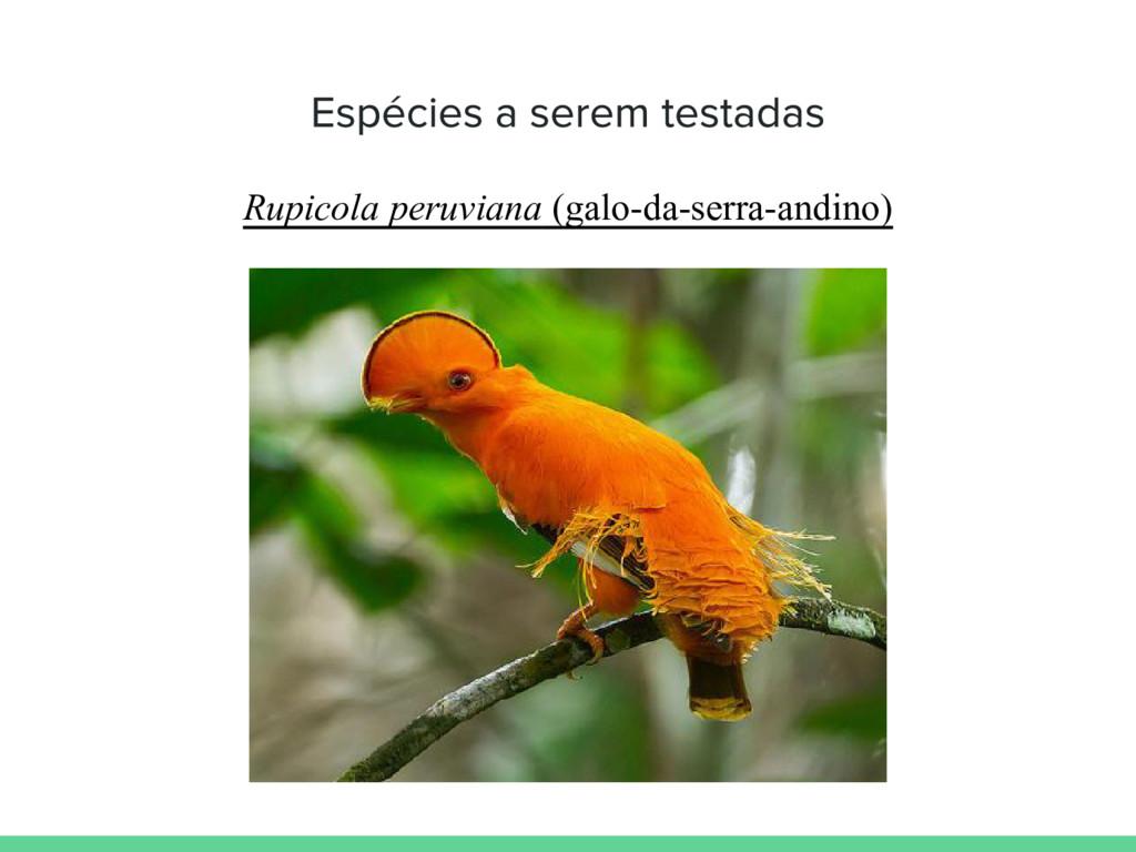 Rupicola peruviana (galo-da-serra-andino)