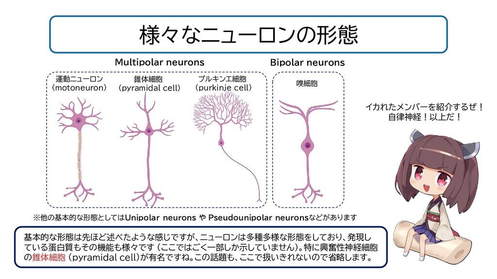 様々なニューロンの形態 イカれたメンバーを紹介するぜ! 自律神経!以上だ! 基本的な形態は先ほ...
