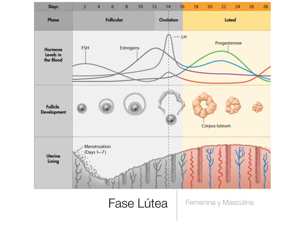 Fase Lútea Femenina y Masculina