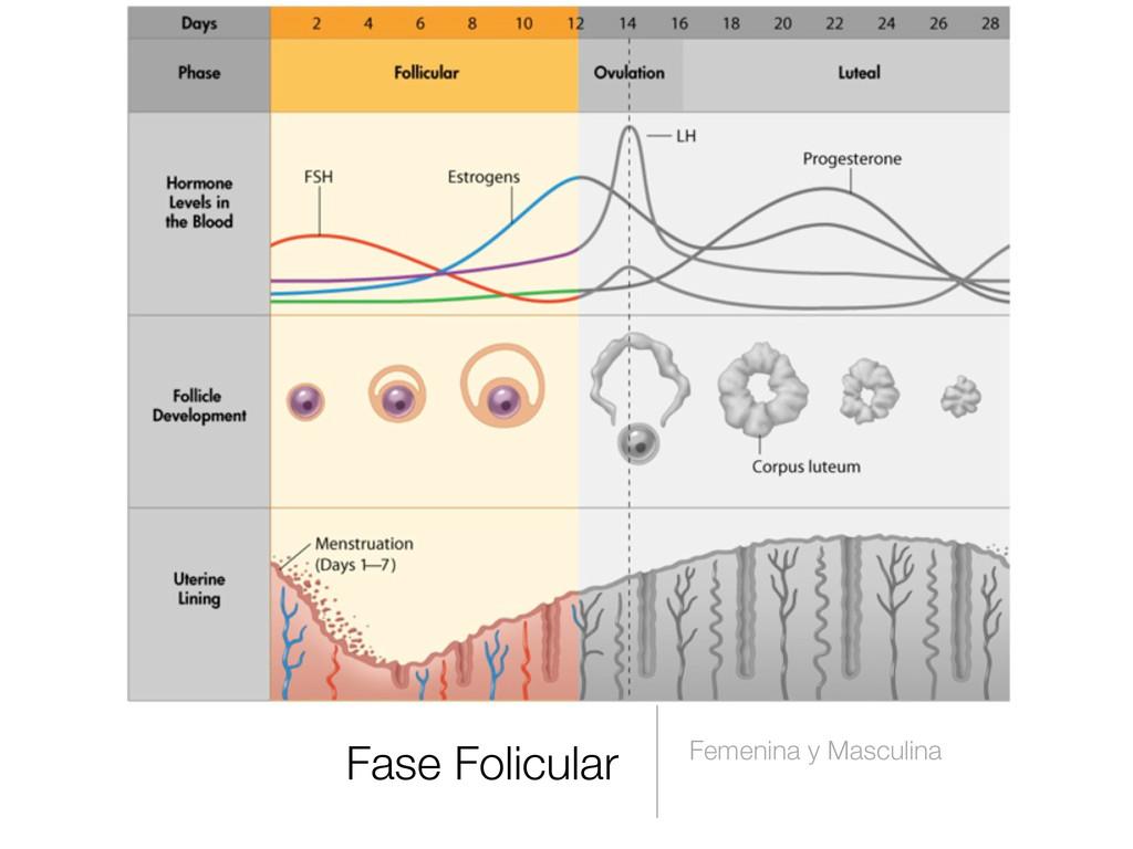 Fase Folicular Femenina y Masculina