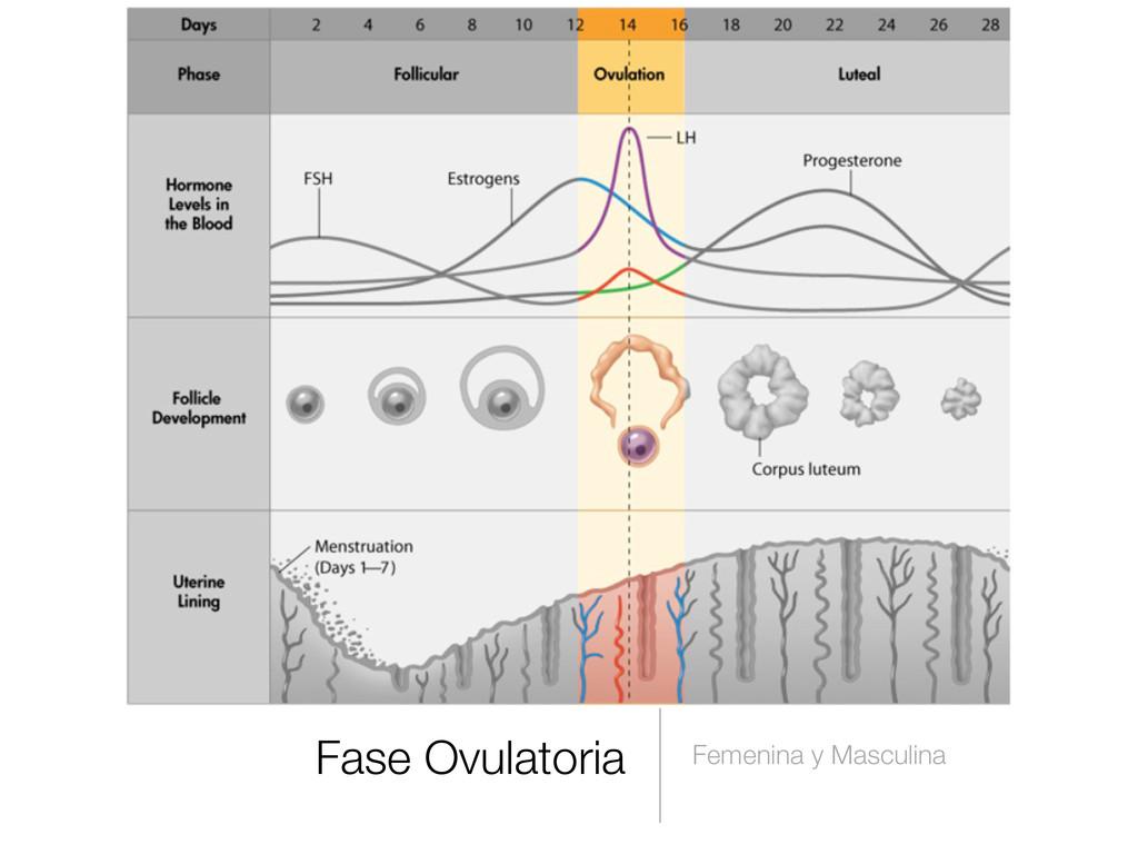 Fase Ovulatoria Femenina y Masculina