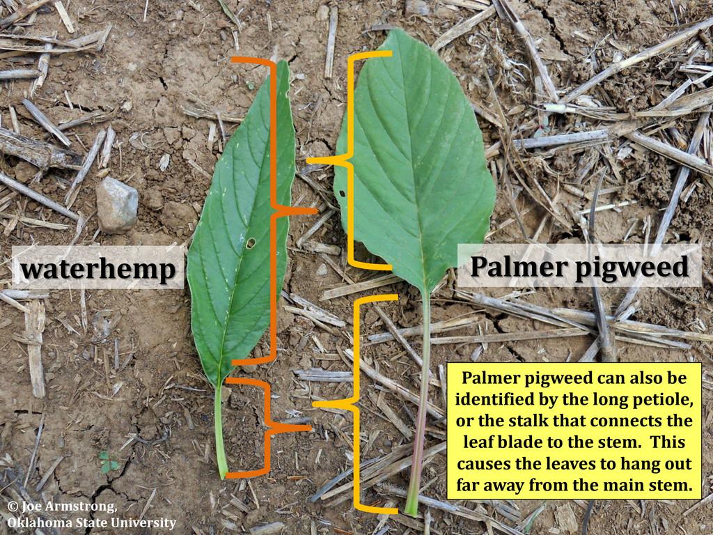 Palmer pigweed waterhemp Palmer pigweed can als...