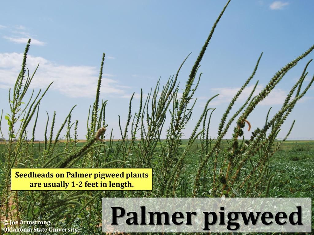 Palmer pigweed Seedheads on Palmer pigweed plan...