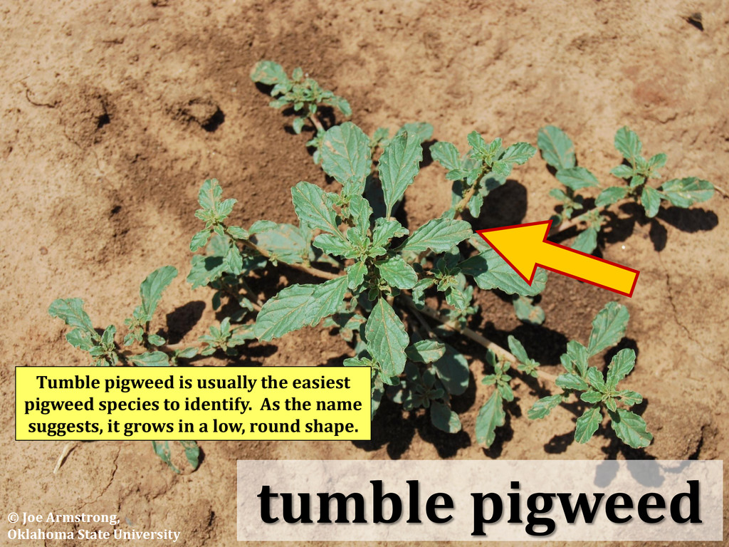 tumble pigweed Tumble pigweed is usually the ea...