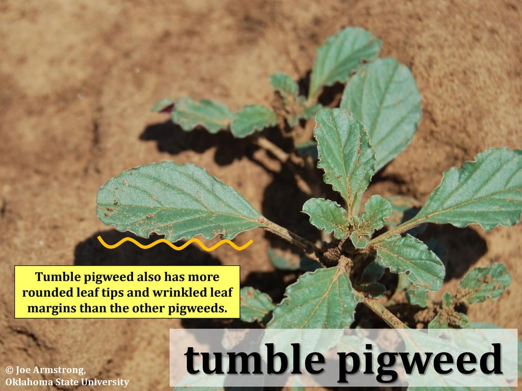 tumble pigweed Tumble pigweed also has more rou...