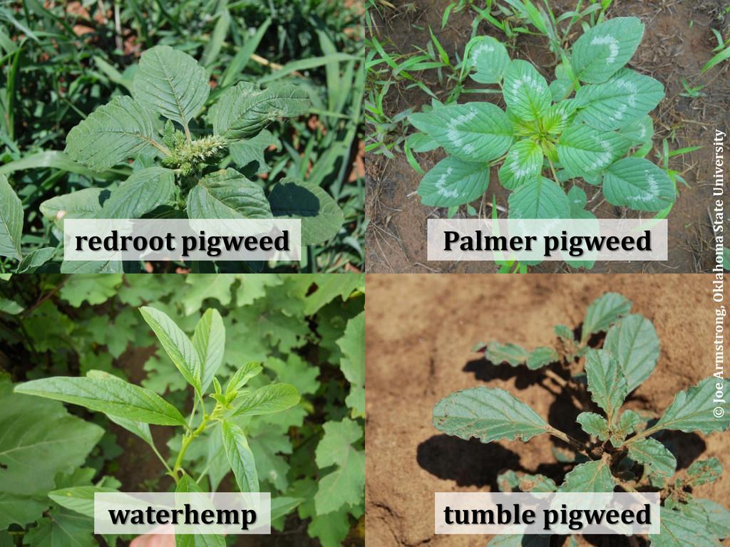 redroot pigweed waterhemp Palmer pigweed tumble...