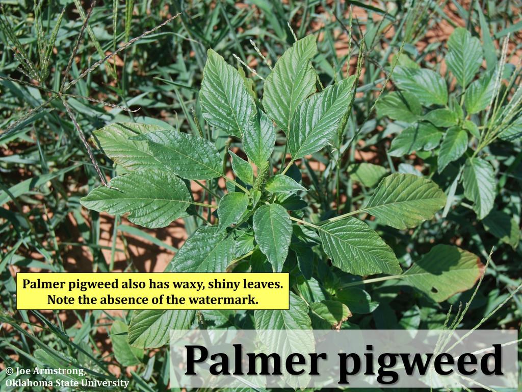 Palmer pigweed Palmer pigweed also has waxy, sh...