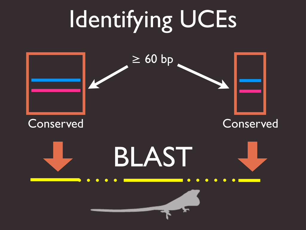 Identifying UCEs Conserved Conserved BLAST ≥ 60...