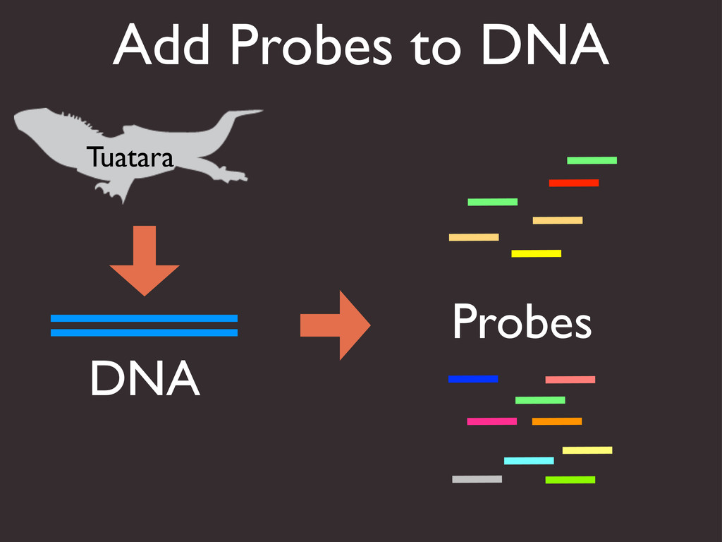 Add Probes to DNA DNA Tuatara Probes