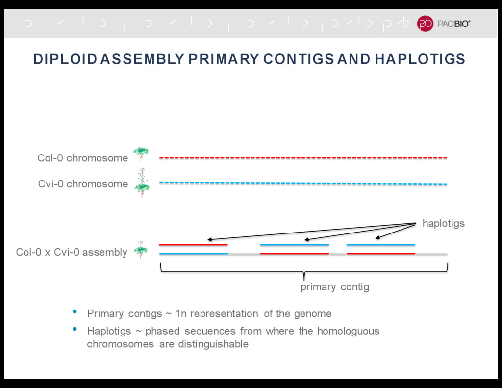 Col-0 x Cvi-0 assembly DIPLOID ASSEMBLY PRIMARY...