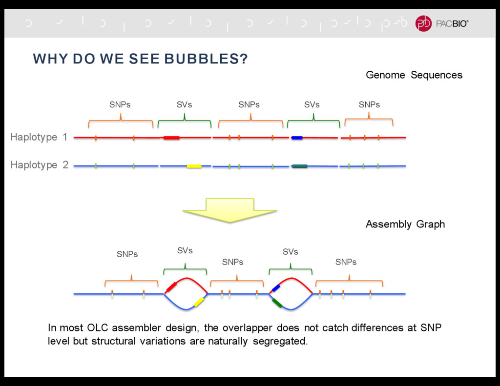 WHY DO WE SEE BUBBLES? SNPs SNPs SNPs SVs SVs S...