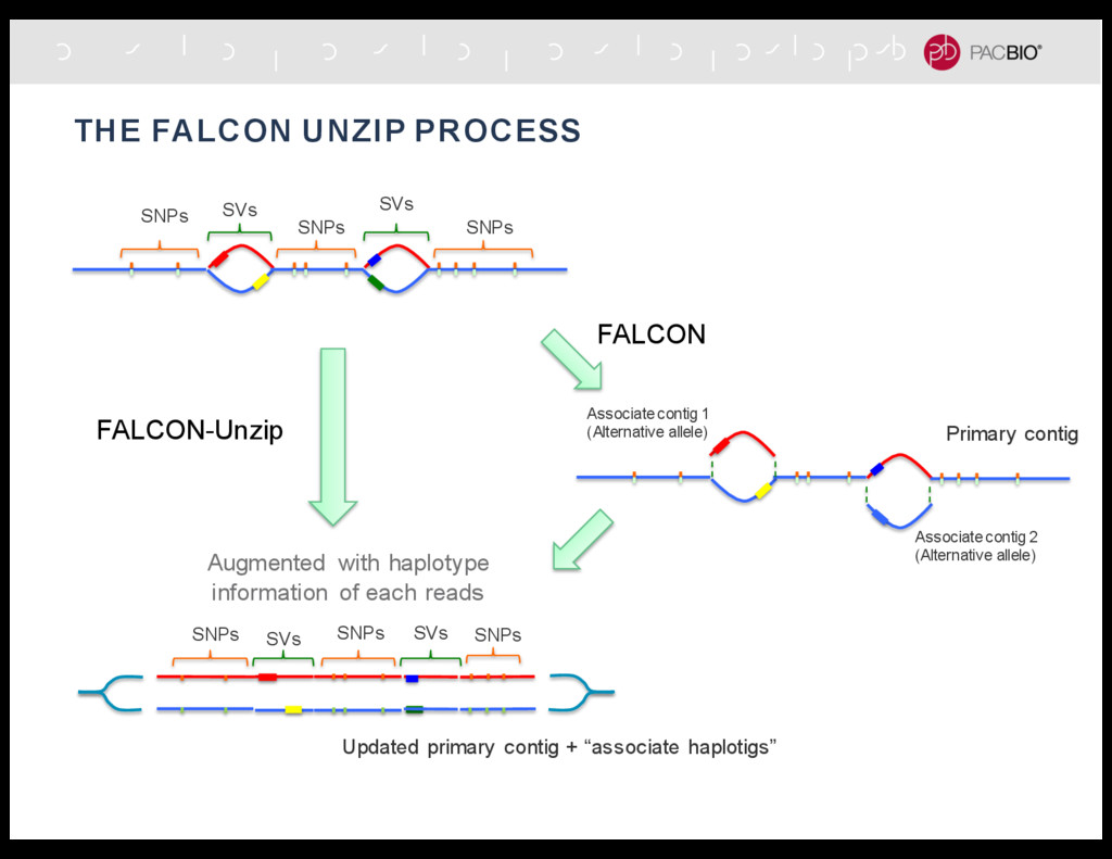 THE FALCON UNZIP PROCESS SNPs SNPs SNPs SVs SVs...