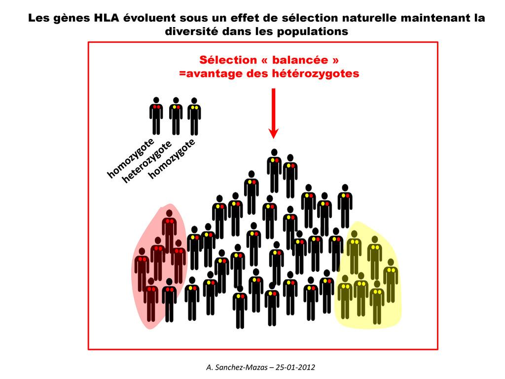Les gènes HLA évoluent sous un effet de sélecti...