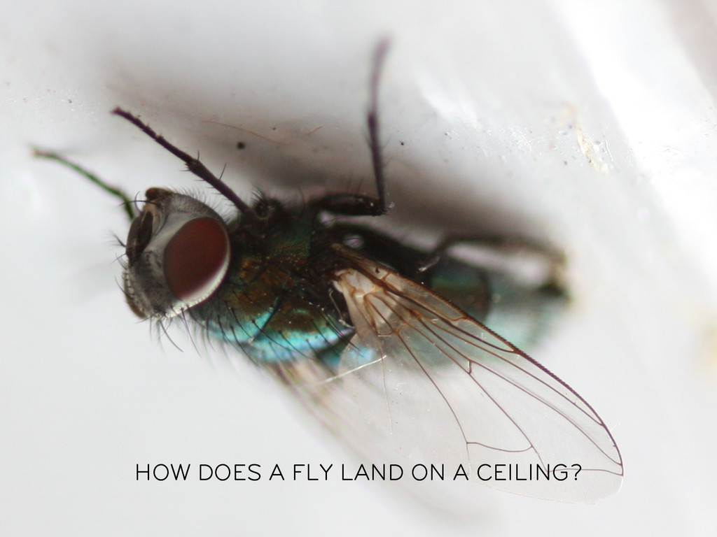 HOW DOES A FLY LAND ON A CEILING?