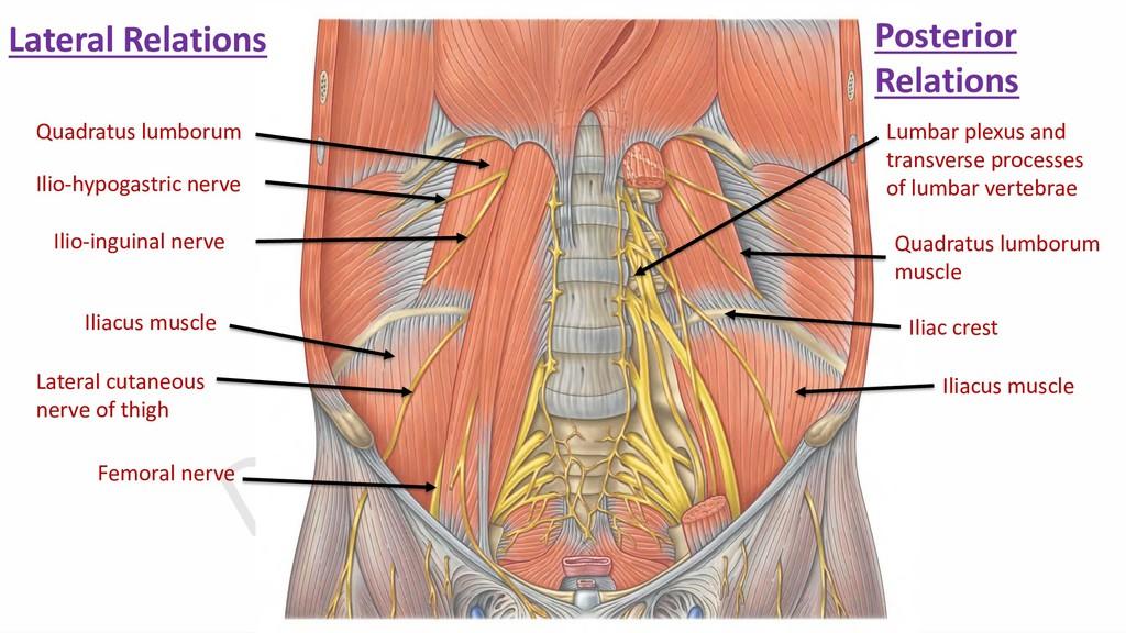 Quadratus lumborum Ilio-hypogastric nerve Ilio-...