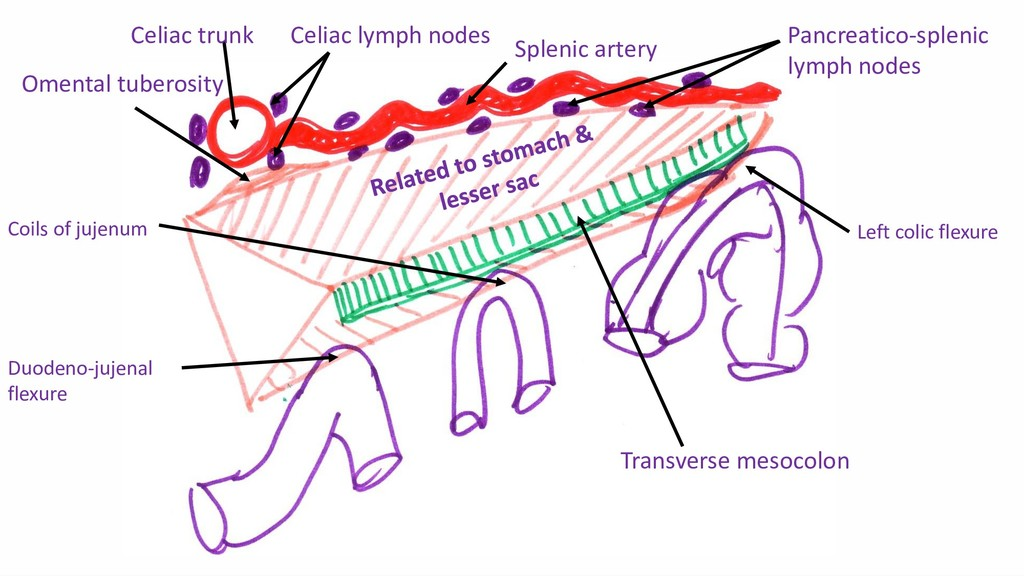 Omental tuberosity Transverse mesocolon Celiac ...