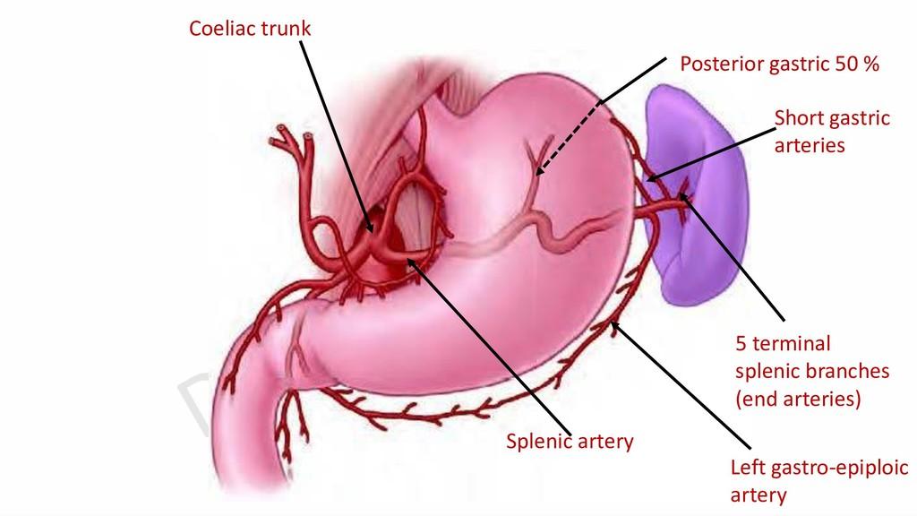 Coeliac trunk Splenic artery 5 terminal splenic...