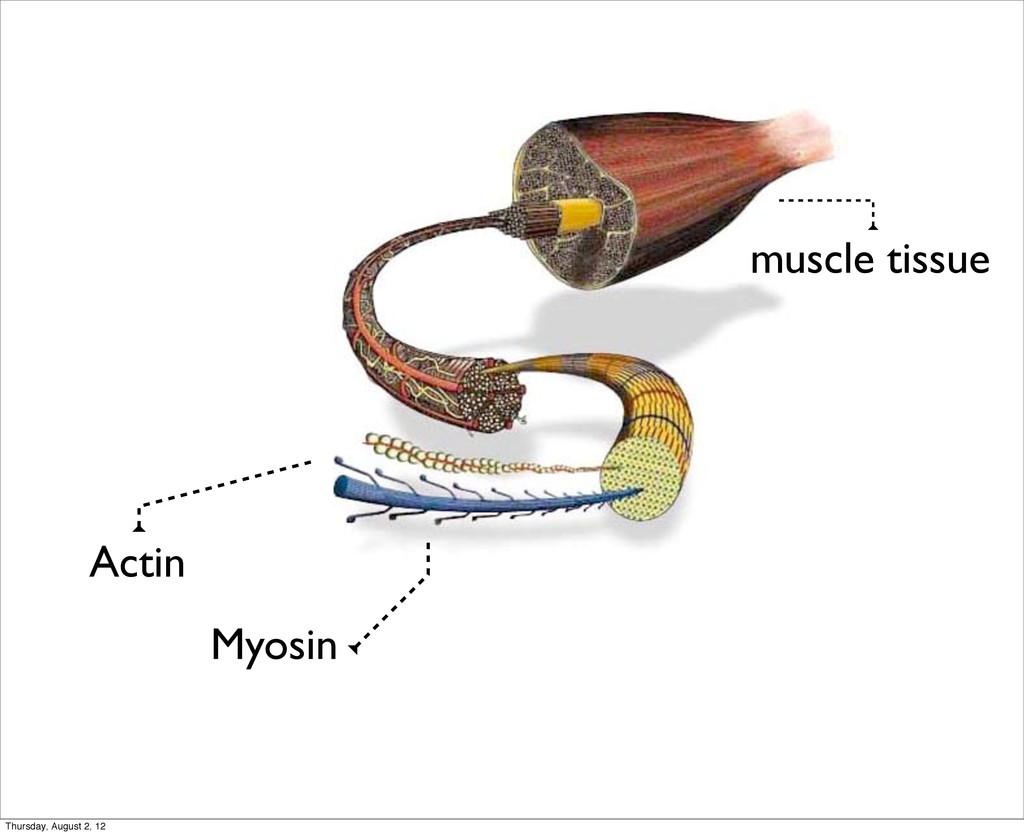 Actin Myosin muscle tissue Thursday, August 2, ...