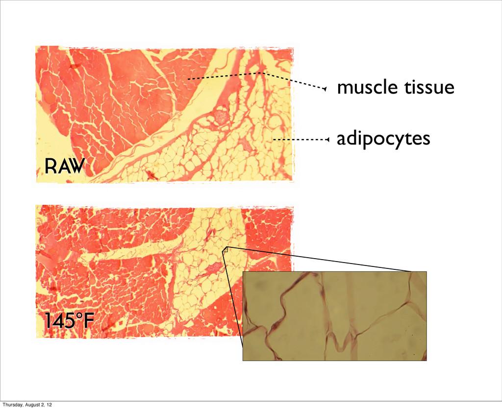 muscle tissue adipocytes RAW 145°F Thursday, Au...