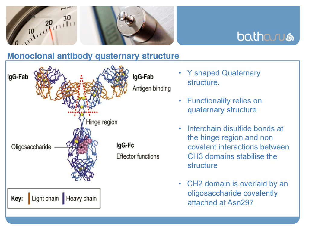 Monoclonal antibody quaternary structure! • Y ...