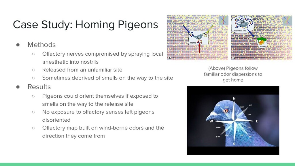 Case Study: Homing Pigeons ● Methods ○ Olfactor...