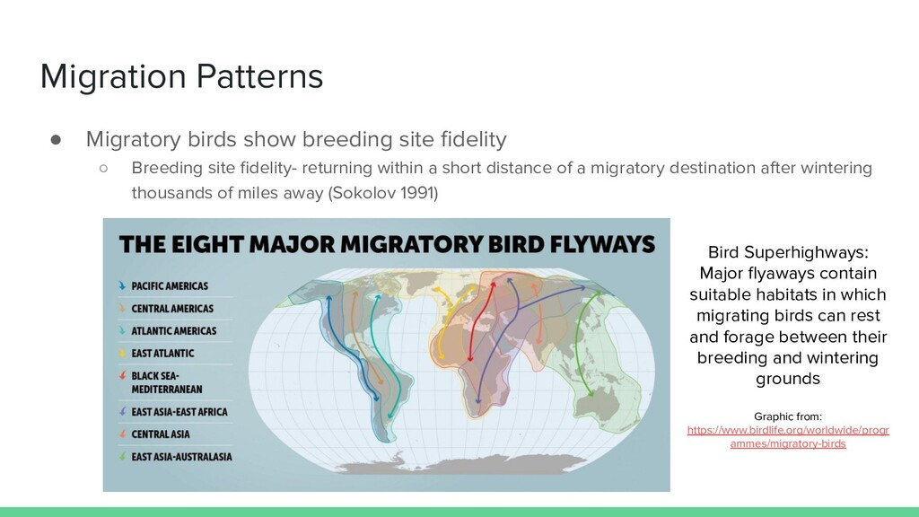Migration Patterns ● Migratory birds show breed...