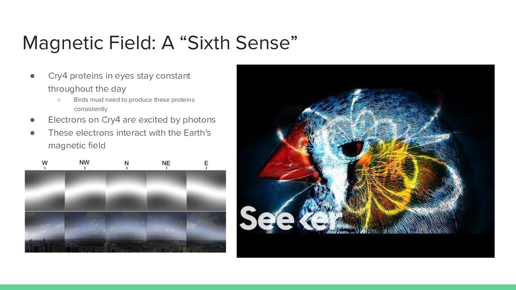 """Magnetic Field: A """"Sixth Sense"""" ● Cry4 proteins..."""