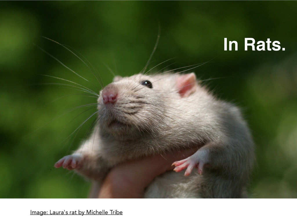 Image: Laura's rat by Michelle Tribe In Rats.