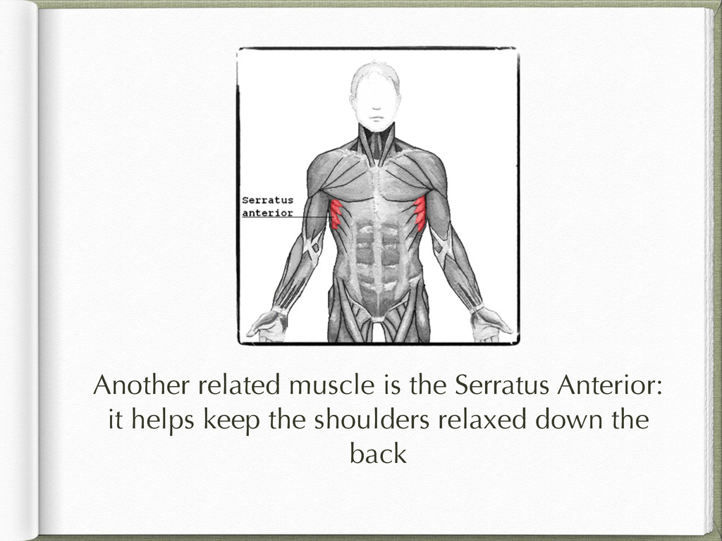 Another related muscle is the Serratus Anterior...