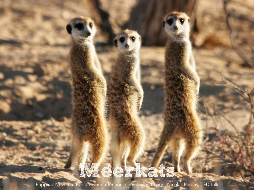 Meerkats Puppies! Now that I've got your attent...