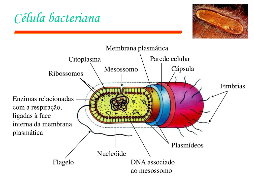 Célula bacteriana Fímbrias Cápsula Parede celul...