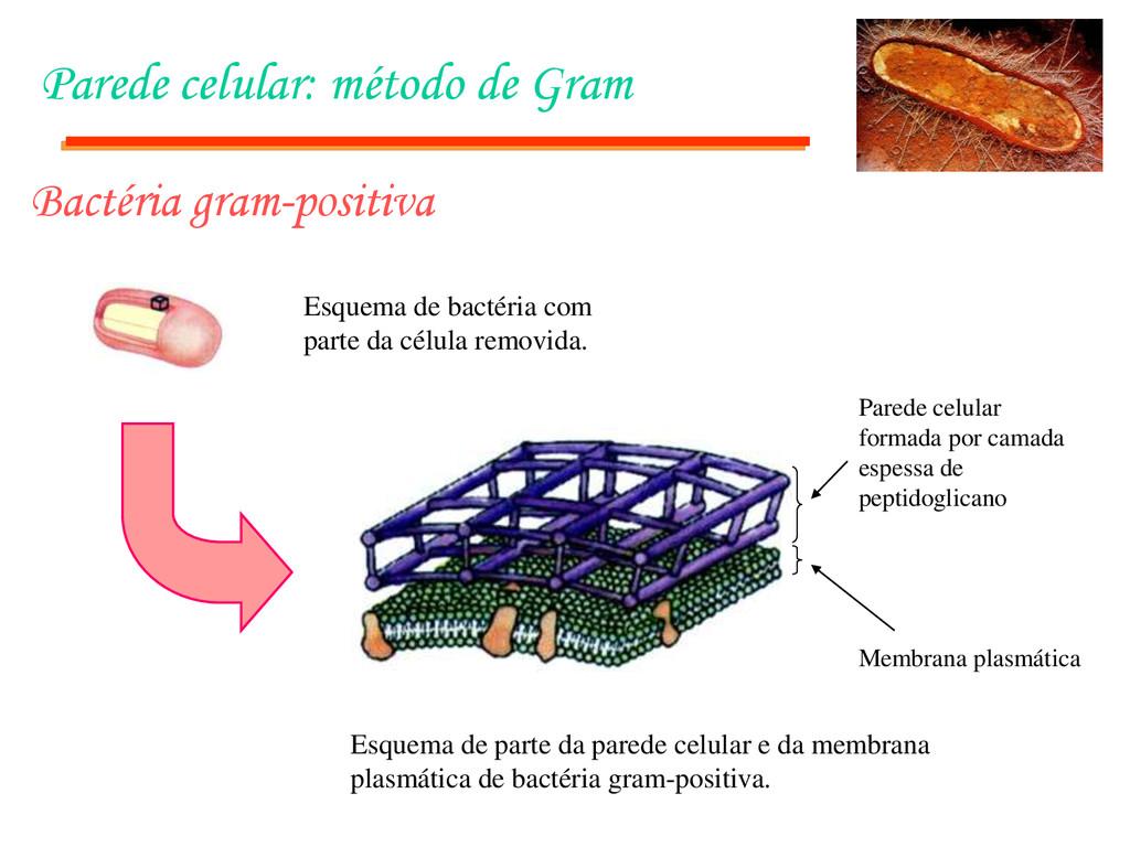 Parede celular: método de Gram Bactéria gram-po...