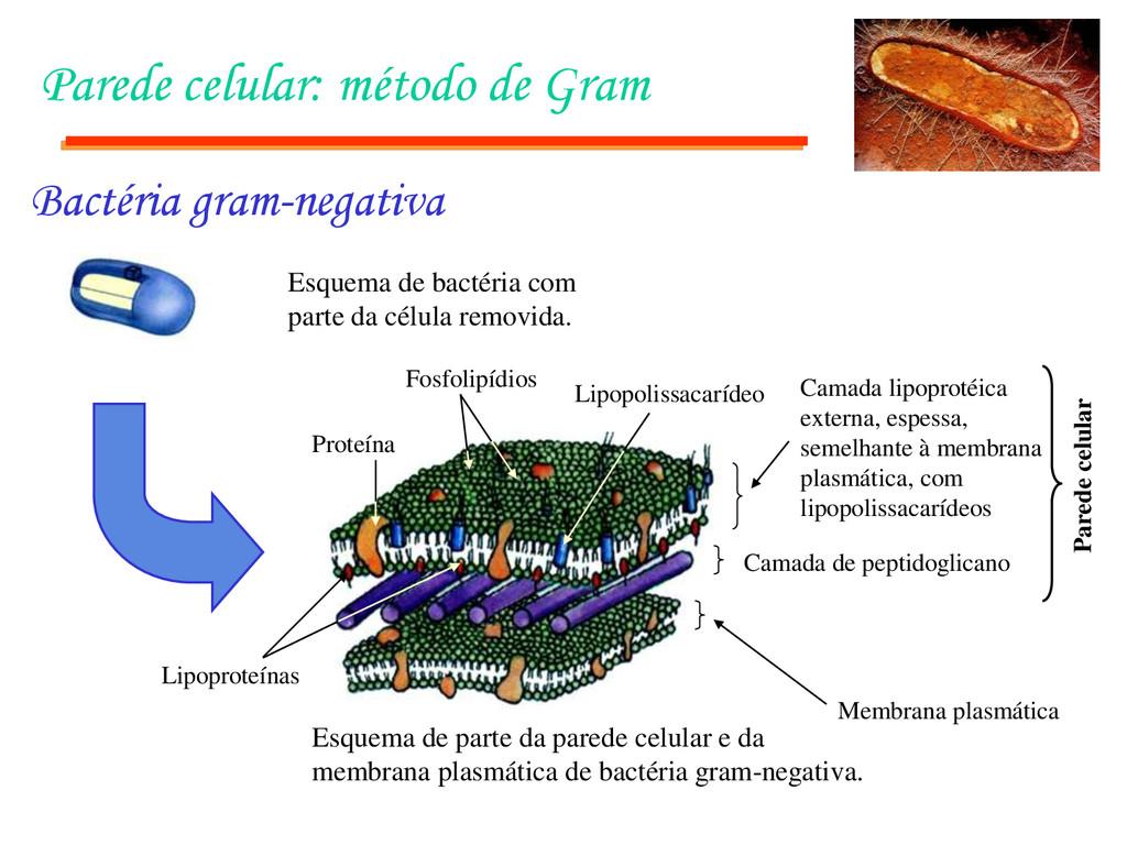 Parede celular: método de Gram Esquema de bacté...