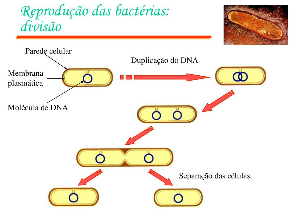 Reprodução das bactérias: divisão Duplicação do...