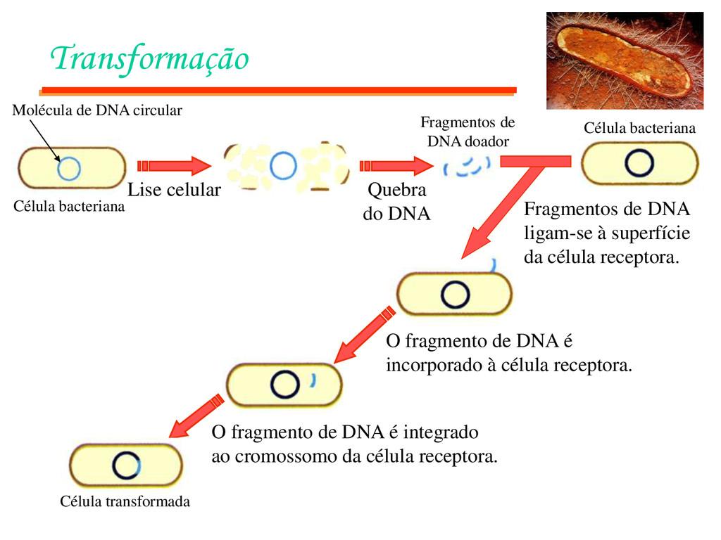 Transformação Célula bacteriana Lise celular Qu...