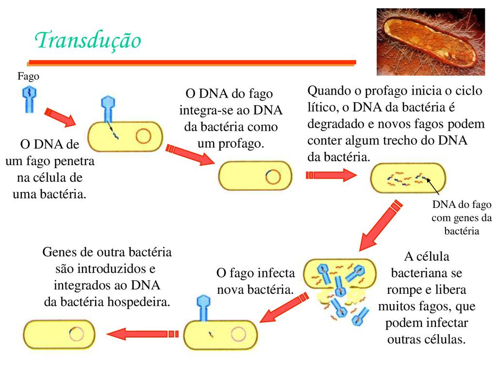 Transdução Fago O DNA de um fago penetra na cél...