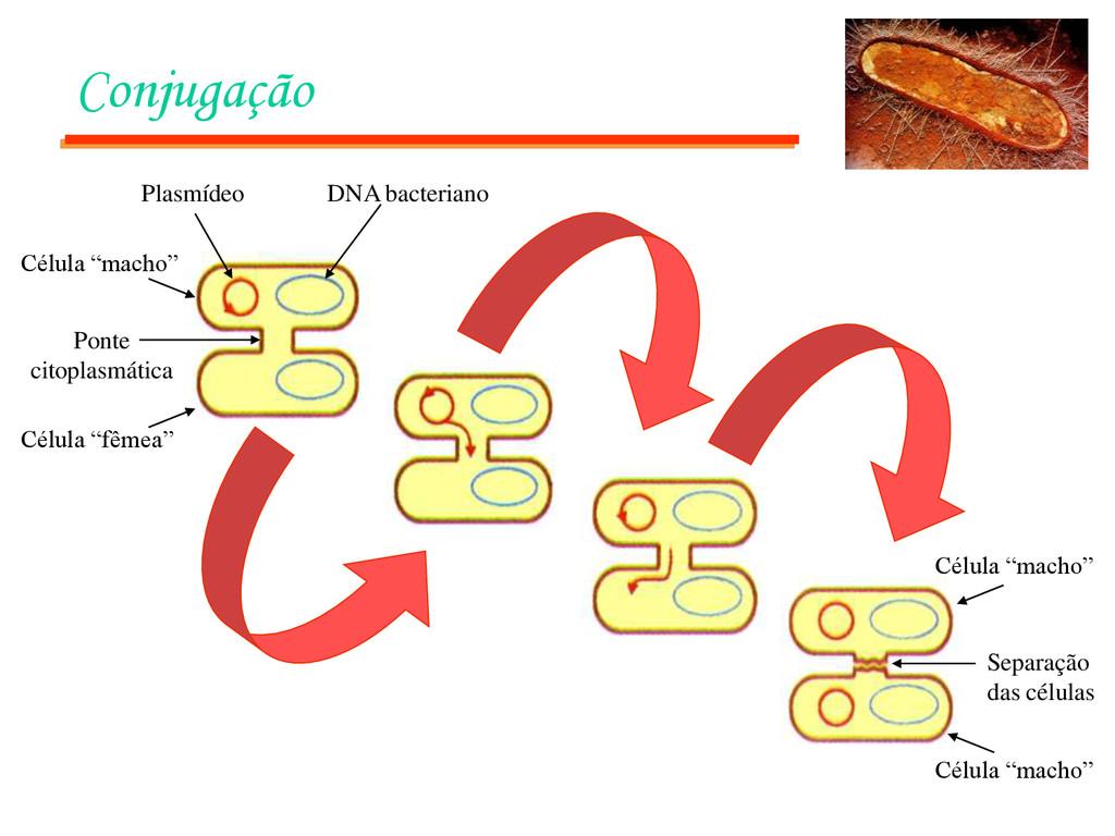 Conjugação Plasmídeo DNA bacteriano Ponte citop...