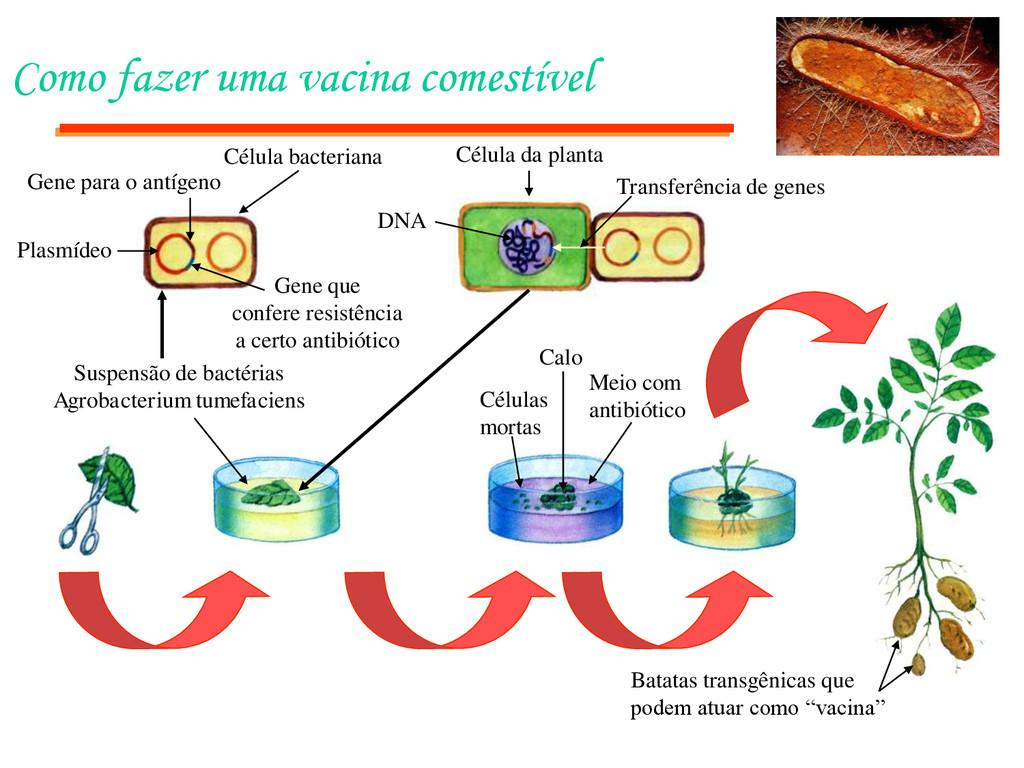 Como fazer uma vacina comestível Batatas transg...