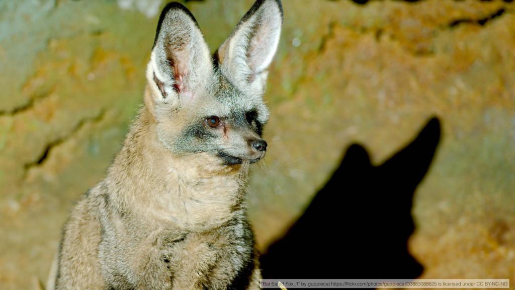 """""""Bat Eared Fox_1"""" by guppiecat https://flickr.co..."""