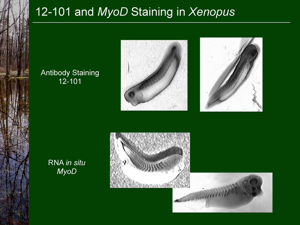 12-101 and MyoD Staining in Xenopus Antibody St...