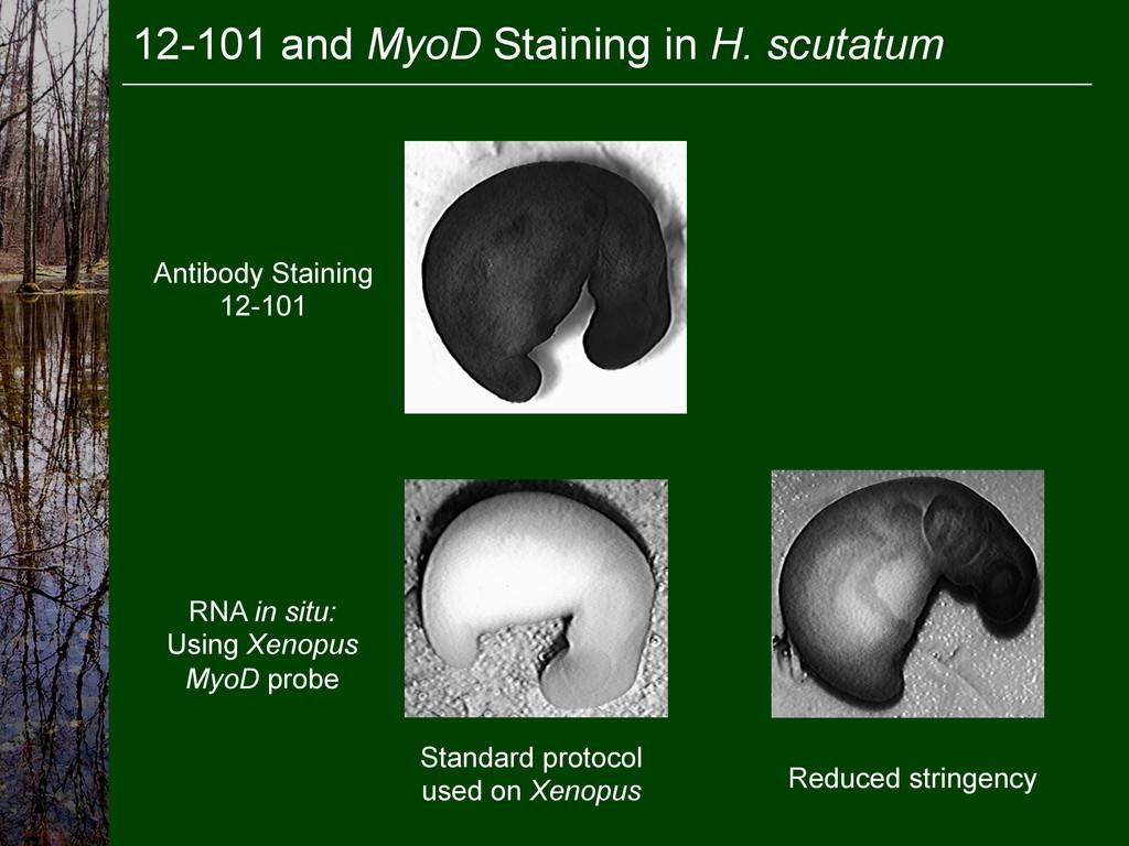 12-101 and MyoD Staining in H. scutatum Antibod...