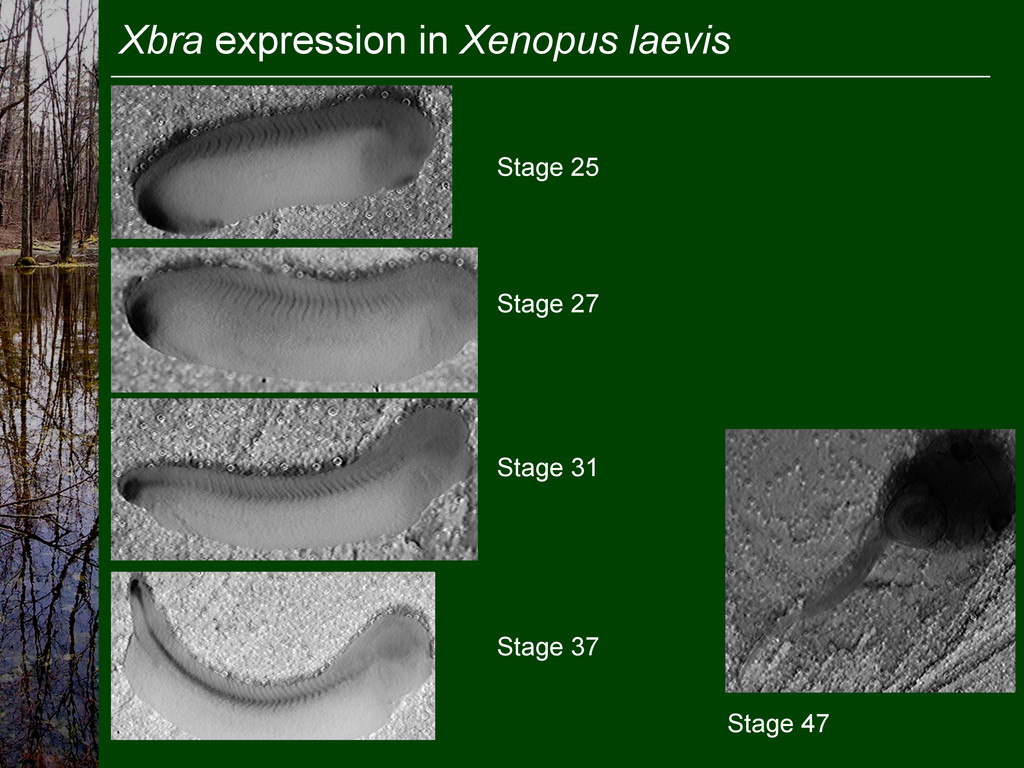 Xbra expression in Xenopus laevis Stage 25 Stag...