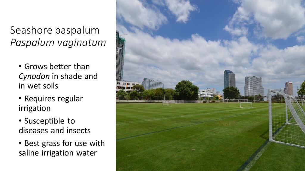 Seashore paspalum Paspalum vaginatum • Grows be...
