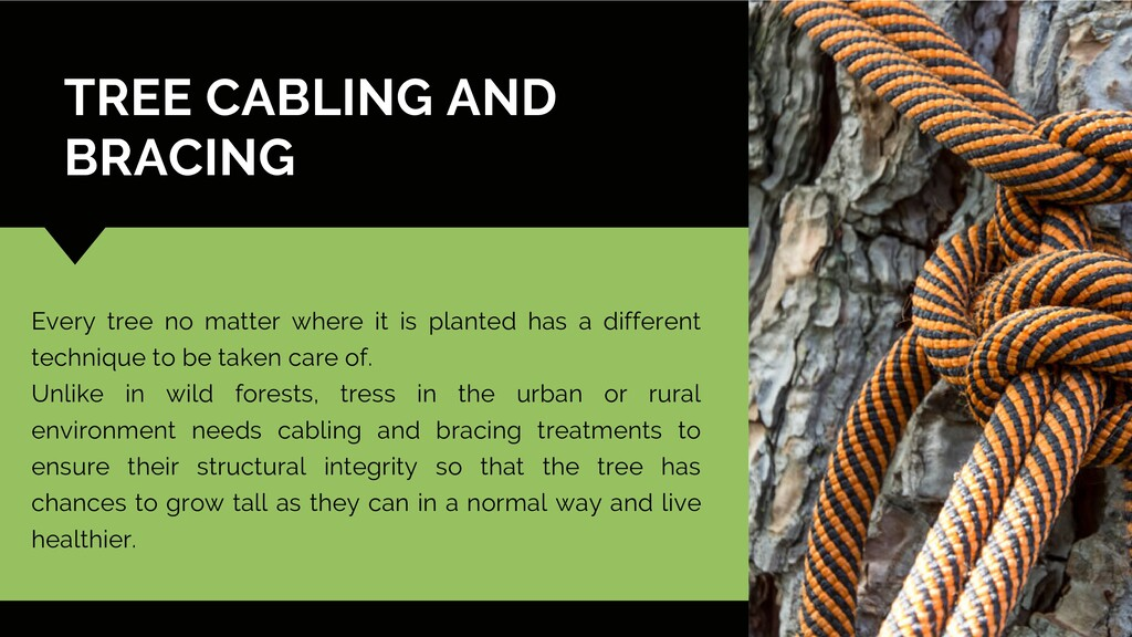 TREE CABLING AND BRACING Every tree no matter w...