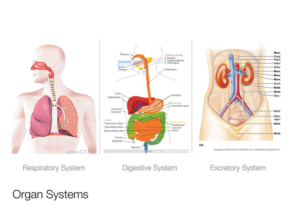 Organ Systems Respiratory System Digestive Syst...