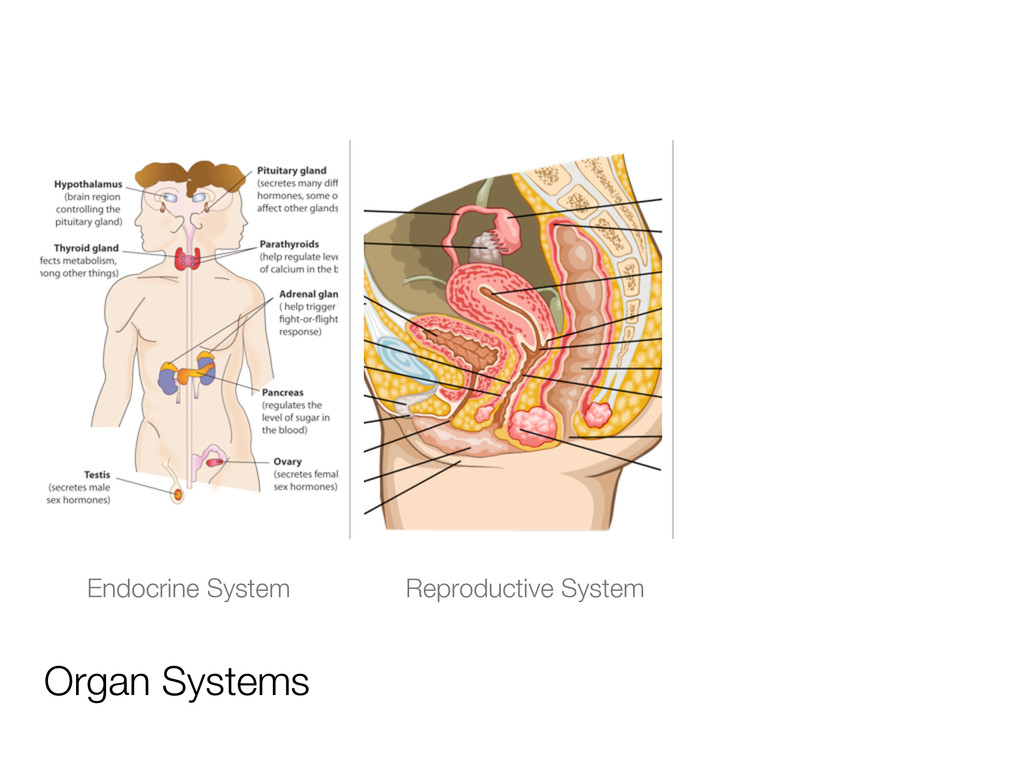 Organ Systems Endocrine System Reproductive Sys...